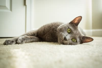 Best Breeds of House Cat for Preventing Cat Allergies, Greensboro Vet