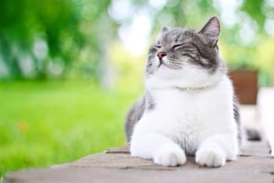 Hyperthyroidism in Cats, Greensboro Vet